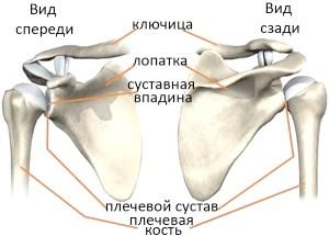 Анатомія Плечових суглобов