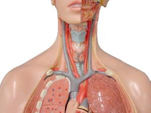 Брахіоцефальніх артерії по якіх дах рухається до головного мозк