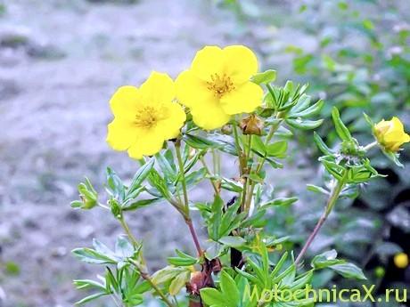 Курильський чай - скромна рослина з жовтими квітами, а користь його неоціненна!