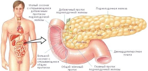 Як визначити, де знаходиться підшлункова залоза у людини?