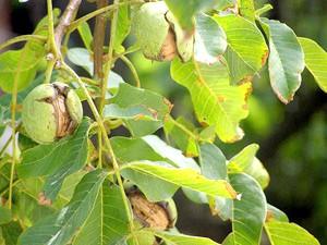 Листя и гілочкі Волоська горіха
