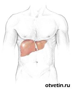 З якого боку знаходиться печінка людини