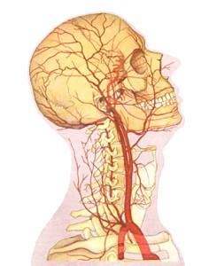 Сонна Артерія людини