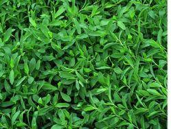 Які трави допомагають від безпліддя?