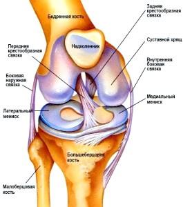 Будова колінного суглобу