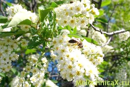 Як прекрасна черемха в цвіту! А адже це ще й прекрасний засіб від захворювання!