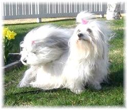 Чи існують собаки, що не викликають алергію?