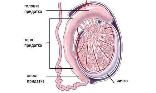 Запалення насінного каналу у чоловіків: передумови та профілактика